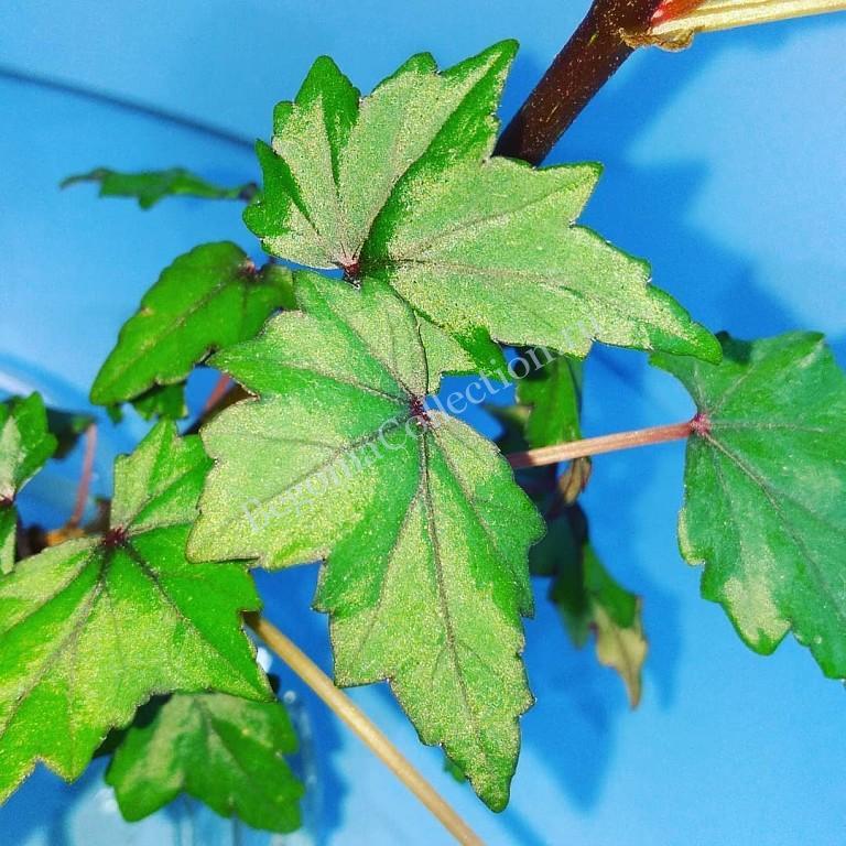 Begonia Dregii БН-2